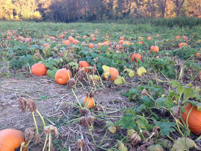 pumpkins in field2