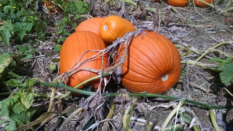 pumpkins in field4